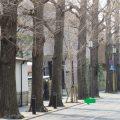 正門前の銀杏並木が植え替えられました